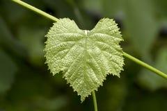 Zielony gronowy liść Zdjęcia Royalty Free