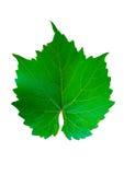 Zielony gronowy liść na białym tle Obraz Royalty Free