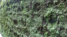 Zielony zielony grzyb na ścianie obrazy royalty free