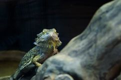 Zielony guano patrzeje ciebie przez szkła w Kijowskim zoo obraz royalty free