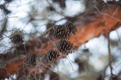 Zielony halnej sosny Pinus mugo zbliżenie z potomstwami konusuje na zamazanej kolorowej jesieni lasowym tle z pięknym bokeh obraz stock