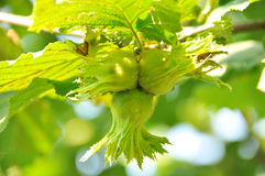 zielony hazelnut Obrazy Royalty Free