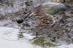 zielony heron dziecka żółwia Zdjęcia Stock