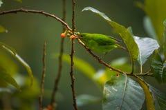 Zielony Honeycreeper, kobieta zdjęcie royalty free