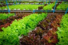 Zielony hydroponic organicznie sałatkowy warzywo w gospodarstwie rolnym, Tajlandia Sele Zdjęcia Royalty Free