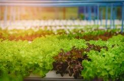 Zielony hydroponic organicznie sałatkowy warzywo w gospodarstwie rolnym, Tajlandia Sele Zdjęcie Stock