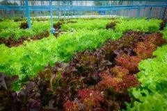 Zielony hydroponic organicznie sałatkowy warzywo w gospodarstwie rolnym, Tajlandia Sele Obrazy Stock