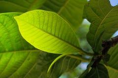 Zielony i świeży liść natury tło Obrazy Stock