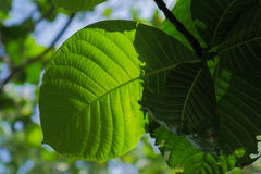 Zielony i świeży liść natury tło Zdjęcia Stock