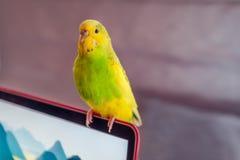 Zielony i żółty budgie parakeet obsiadanie na laptopu ekranie obrazy royalty free