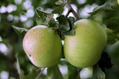 Zielony i czerwony jabłczany obwieszenie Zdjęcia Stock