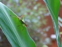 Zielony i Czerwony pasikonik na Imbirowej roślinie Zdjęcia Stock