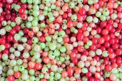 Zielony i czerwony redcurrant tło Obrazy Royalty Free