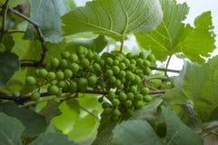 Zielony i młody gronowy grono w drzewie grona winogrona zieleń Nowy zielony winogrono w winnicy fotografia royalty free