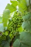 Zielony i młody gronowy grono w drzewie grona winogrona zieleń Nowy zielony winogrono w winnicy zdjęcie royalty free
