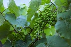 Zielony i młody gronowy grono w drzewie grona winogrona zieleń Nowy zielony winogrono w winnicy obrazy stock