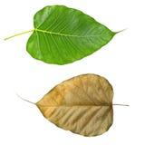 Zielony i suchy bo leaf Zdjęcie Stock