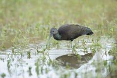 Zielony ibis (Mesembrinibis cayennensis) Obrazy Stock