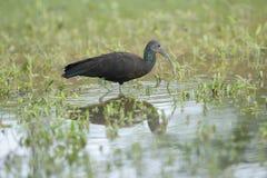 Zielony ibis (Mesembrinibis cayennensis) Fotografia Stock