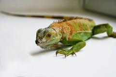Zielony iguana gadów portret, zamyka up Obraz Royalty Free