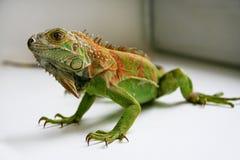 Zielony iguana gadów portret, zamyka up Zdjęcia Royalty Free