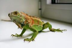 Zielony iguana gadów portret, zamyka up Zdjęcia Stock