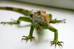 Zielony iguana gadów portret, zamyka up Zdjęcie Stock