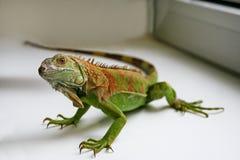 Zielony iguana gadów portret, zamyka up Fotografia Stock
