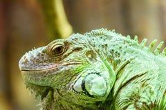 Zielony iguana gada portret Fotografia Royalty Free