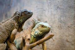 Zielony iguana gada portret Obraz Royalty Free