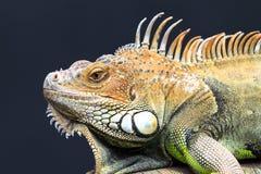 Zielony iguana portret Fotografia Royalty Free