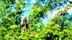 Zielony iguana portret, Floryda park Obraz Royalty Free