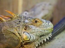 Zielony iguana portret (iguany iguana) Zdjęcie Stock