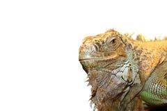 Zielony iguana portret nad bielem Obrazy Stock