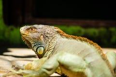 Zielony iguana portreta strzał Zdjęcia Royalty Free