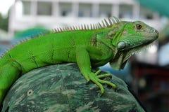 Zielony iguana portreta zbliżenie na ramieniu Zdjęcia Stock
