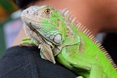 Zielony iguana portreta zbliżenie na ramieniu Zdjęcie Royalty Free