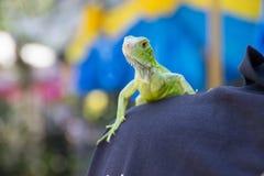 Zielony iguana portreta zbliżenie na ramieniu Obraz Royalty Free