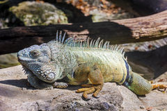 Zielony iguany iguany iguany rhinolopha Obraz Royalty Free