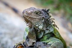Zielony iguany obsiadanie na skale Portret zdjęcie stock