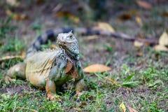 Zielony iguany odprowadzenie na trawie zdjęcie stock