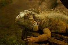 zielony iguany terrarium Fotografia Royalty Free