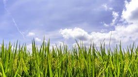 Zielony irlandczyków ryż pole Obrazy Royalty Free