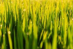 Zielony irlandczyka pole w ranek rosie Fotografia Stock