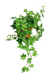 zielony ivy zioło Fotografia Royalty Free