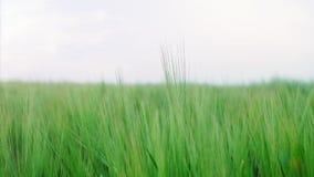 Zielony jęczmień na polu zbiory wideo