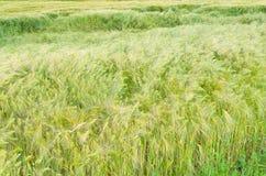 Zielony jęczmienia pola zbliżenie Obrazy Royalty Free