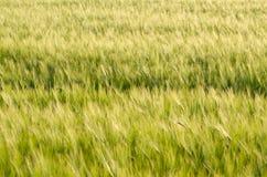 Zielony jęczmienia pola zbliżenie Obrazy Stock