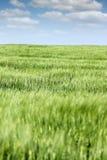 Zielony jęczmienia pola krajobraz Obraz Royalty Free