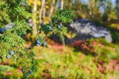 Zielony jałowcowy krzak z jagodami w północnym Finland zdjęcia stock